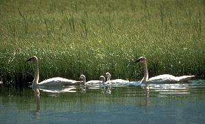 swan-family300