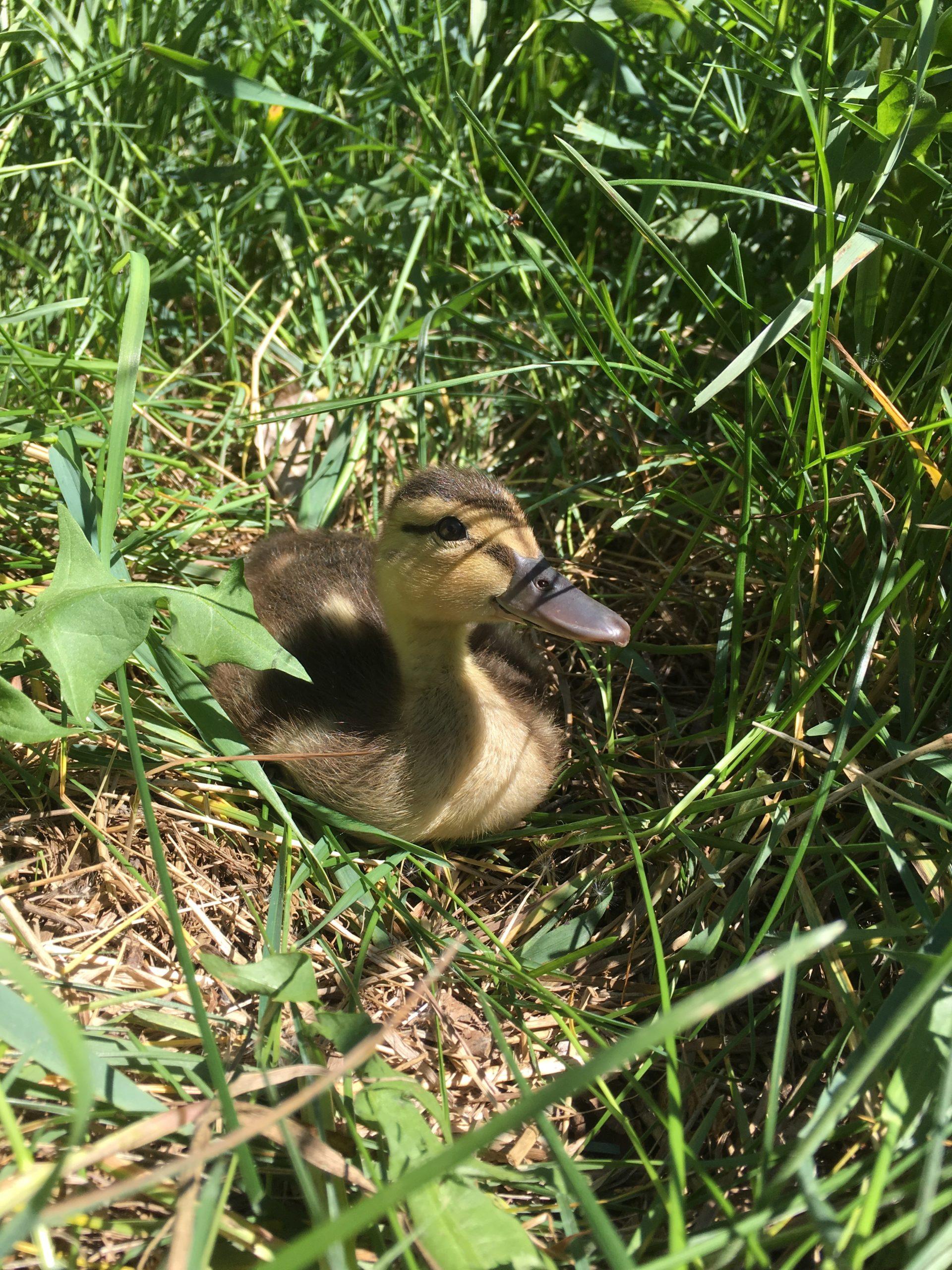 Ducklings_June 2019_Vicki H (9)
